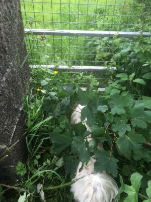 Cleo is there - trying t get through an overgrown gate